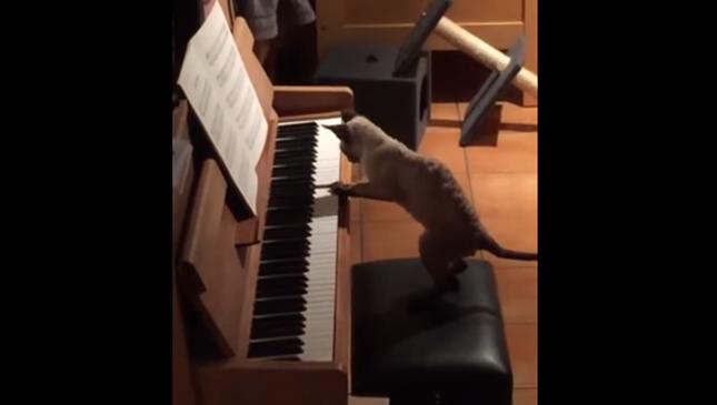 将来は猫ピアニスト!!