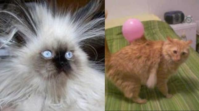 静電気ですごいことになってる猫たち。