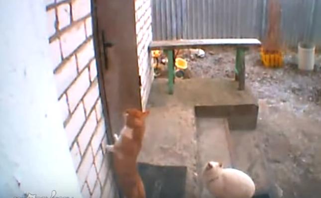 ドアを眺める猫。