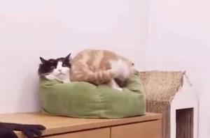 堂々と割り込む猫