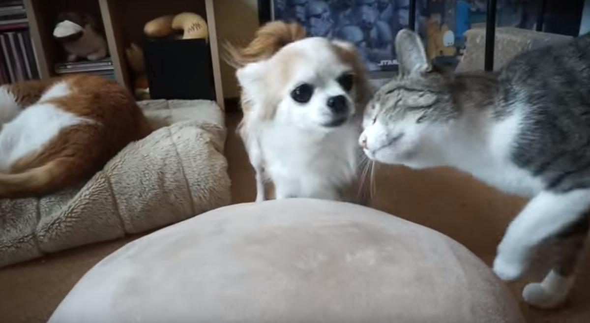 チワワに甘える猫