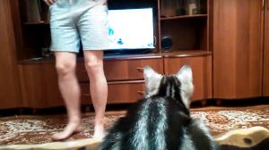 テレビをじゃまされたくない猫の動画