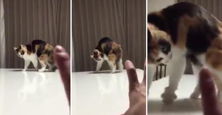 手のひらに怒る猫