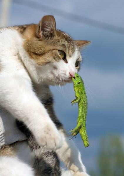 トカゲに噛まれる猫。