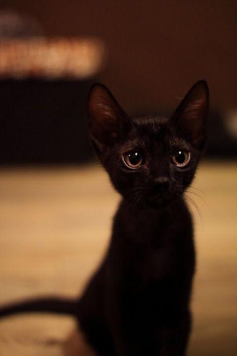 可愛すぎる黒猫子猫
