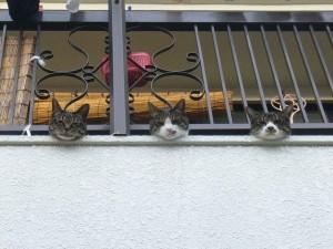 ベランダから顔を出す猫達。