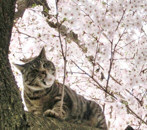 桜を食べる猫