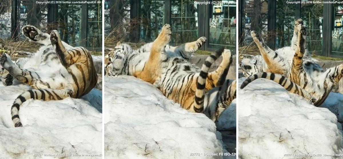 リアクションが猫っぽい虎