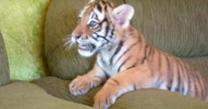 ぬいぐるみのような赤ちゃん虎