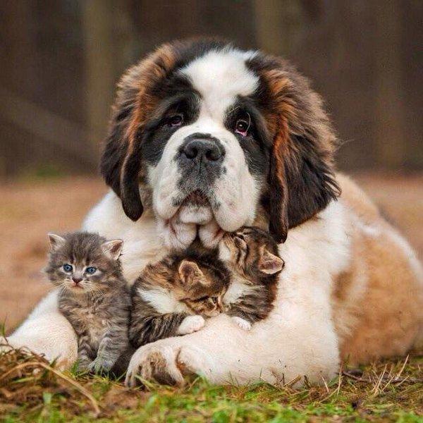 セントバーナードと3匹の子猫