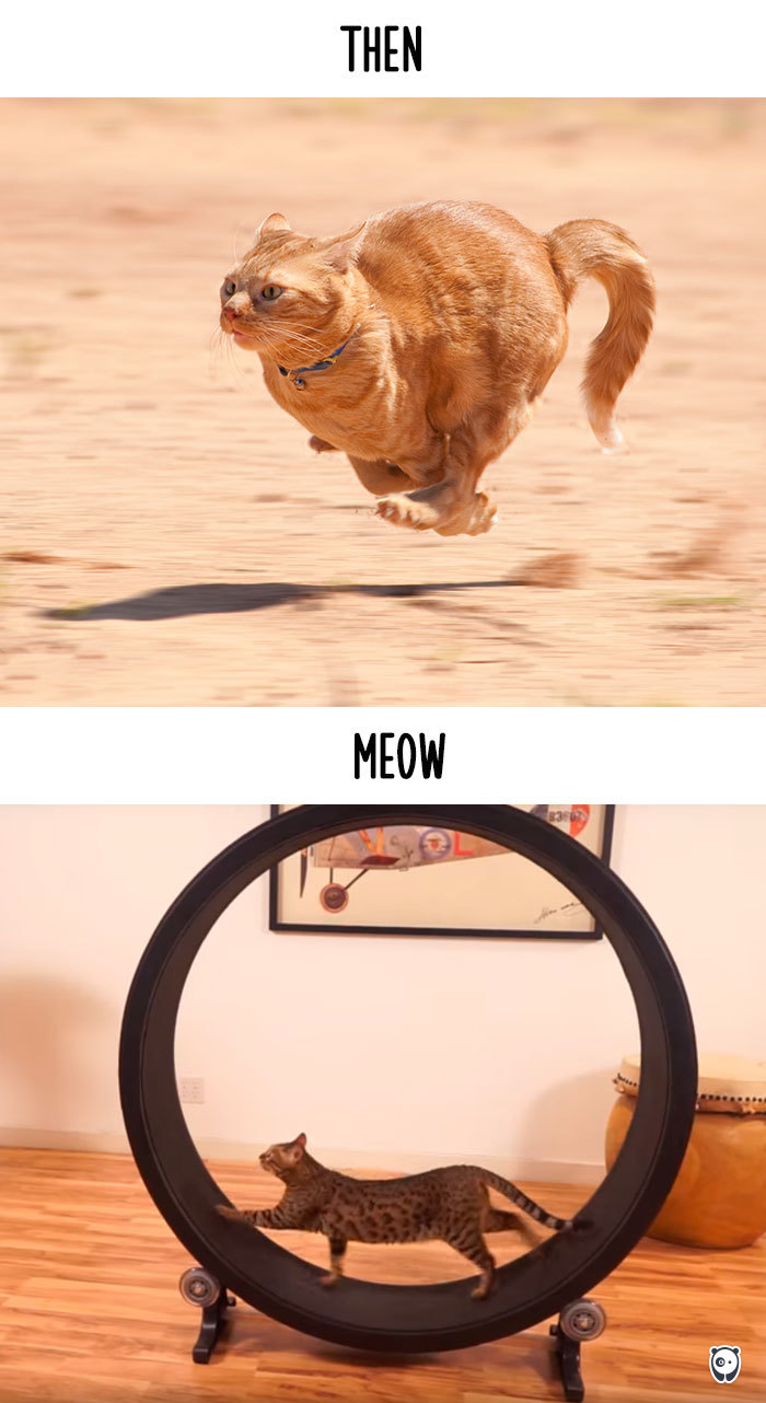 猫専用のランニングマシーンもクールに!