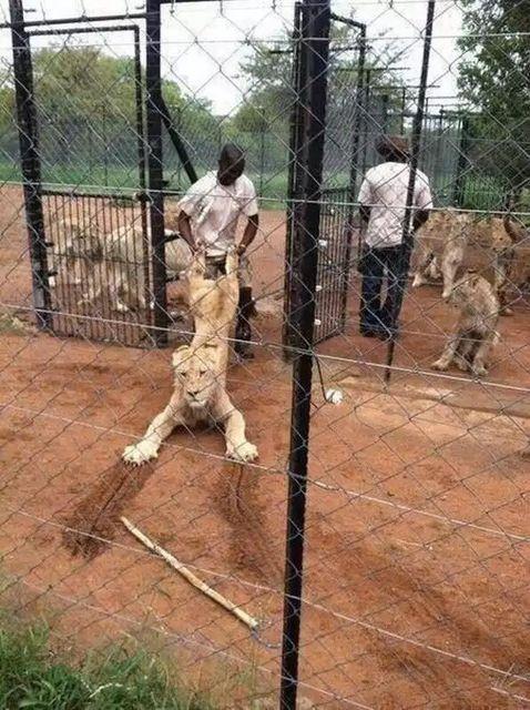 ライオンを引きずる飼育員。
