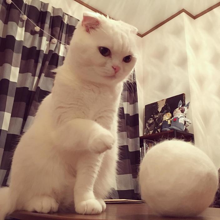 大きすぎる毛玉を見つめる猫