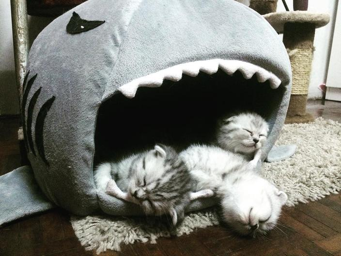 サメ型ベッドに食べられた3匹の子猫