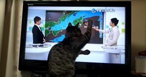 天気予報で遊ぶネコ