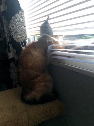 ブラインドから無理やり日向ぼっこする猫。