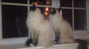 花火を見る二匹のシャム猫