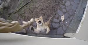 ライオンと猫じゃらし
