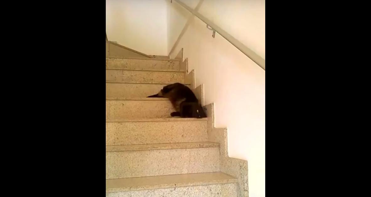 階段の降り方が変な猫