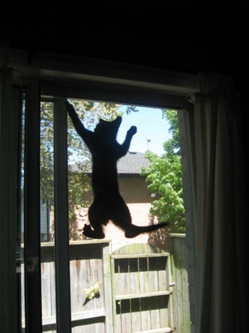 網戸にのぼりまくる猫。