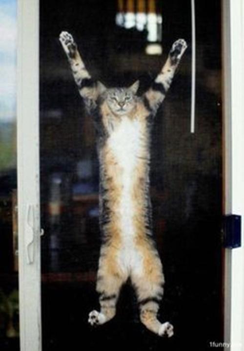 網戸でバンザイしてる風な猫