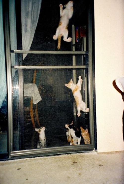網戸のぼり競走中の子猫達