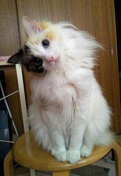 首をかしげる猫4