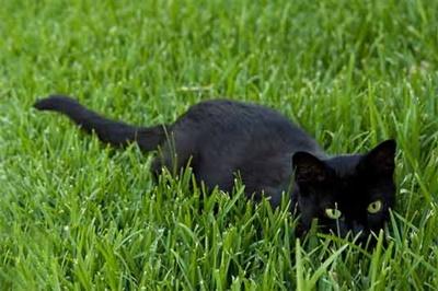 black012cat