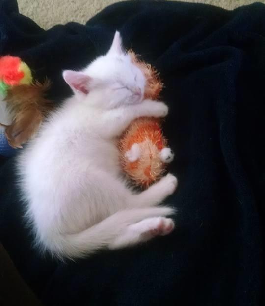 抱き枕で眠る子猫