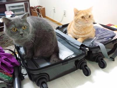 荷造りも邪魔猫。
