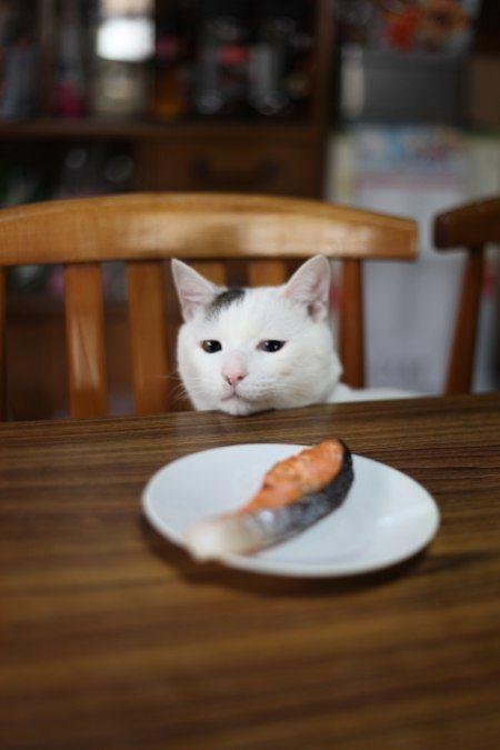 鮭を見つめる猫