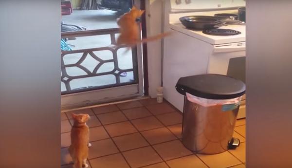 ジャンプアタックでドアを押す猫。