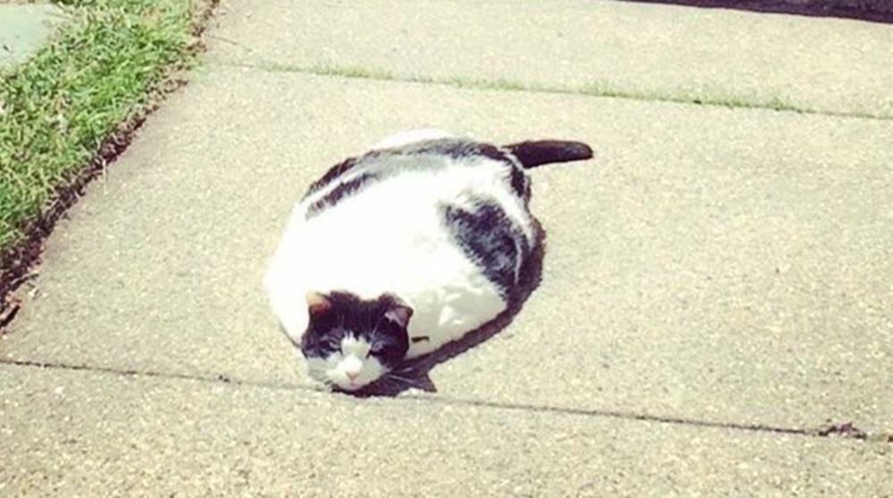 日本に生息されると言われるUMAツチノコは胴が太いヘビのような形状をしていると言います。 そんなツチノコにそっくりな猫さんが奇跡的に激写されました。