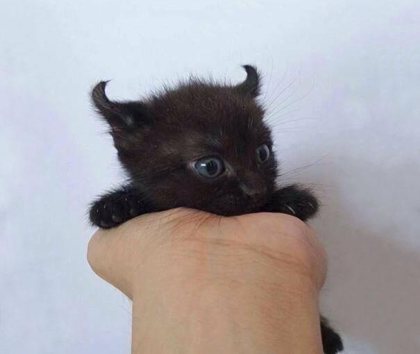 ミニデビル子猫