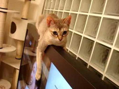 すましフチ猫。