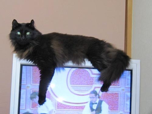 モフりフチ猫。